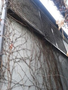 埼玉県川口市 草むしり屋 つる2(戸建てのつる草除去作業)