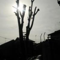埼玉県川口市 草むしり屋(草むしり屋.com)~川口孫の手サービス~ケヤキの伐採