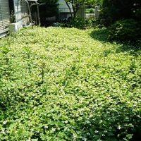 さいたま市 ドクダミ 草むしり 草刈り 除草